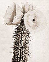 drawing of Hoodia bainii by Harriet Thiselton-Dyers in Curtis' Botanical Magazine, 1878