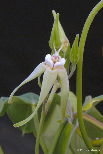 Oxypetalum banksii Schultes. Photo by Chris Moore